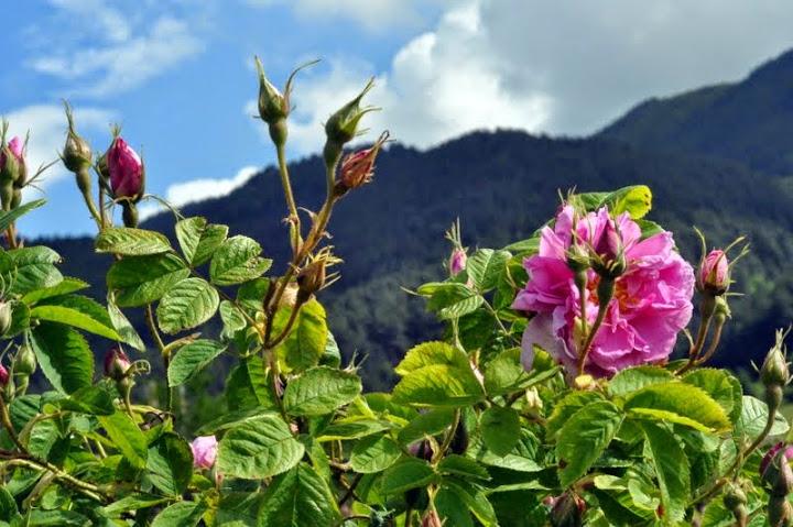 the rose festival in bulgarian land of roses adventure